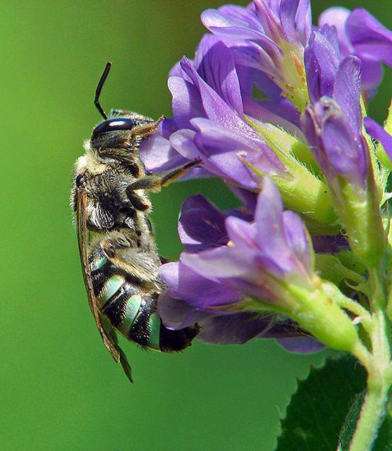 A female Alkali bee