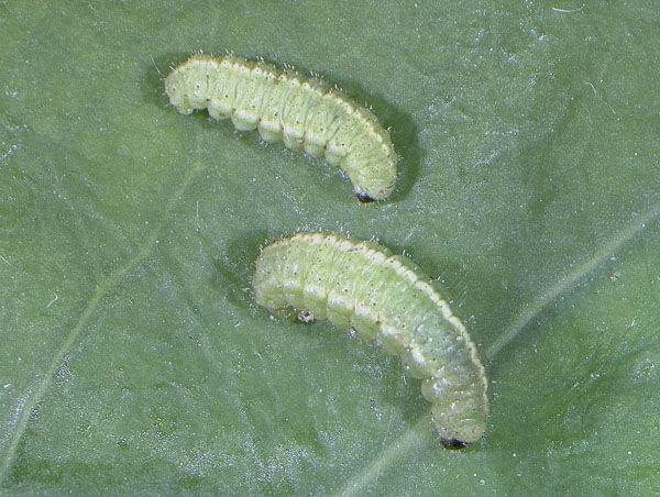 alfalfa larvae
