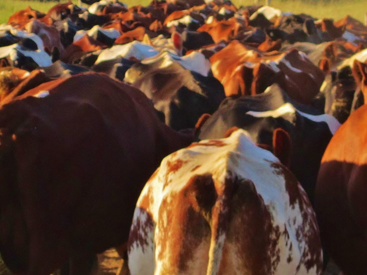 Dairy cattle group together