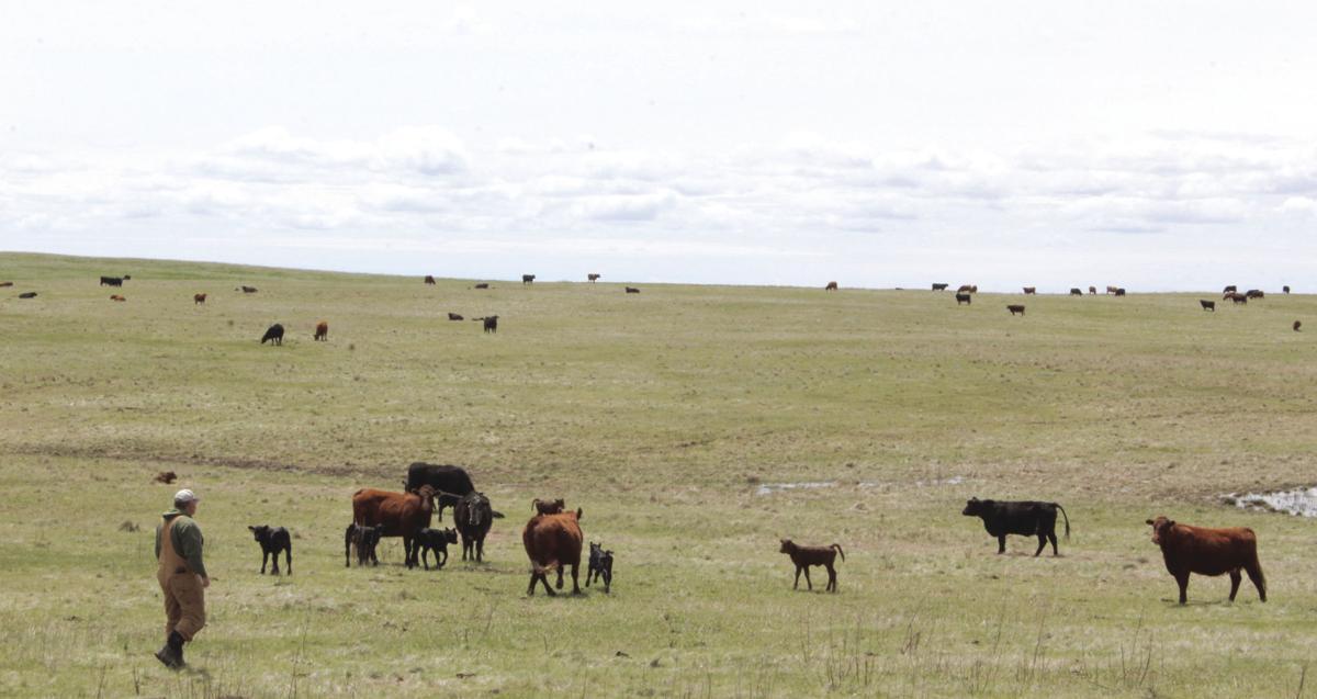 Rohrbach cattle