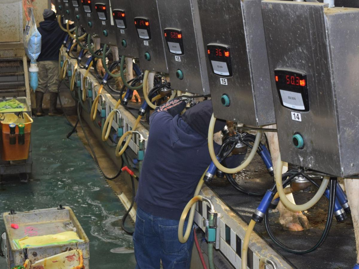 Foreign workers in dairy parlor