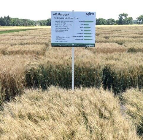 AP Murdock Spring Wheat