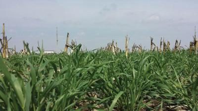 cereal rye cover crop