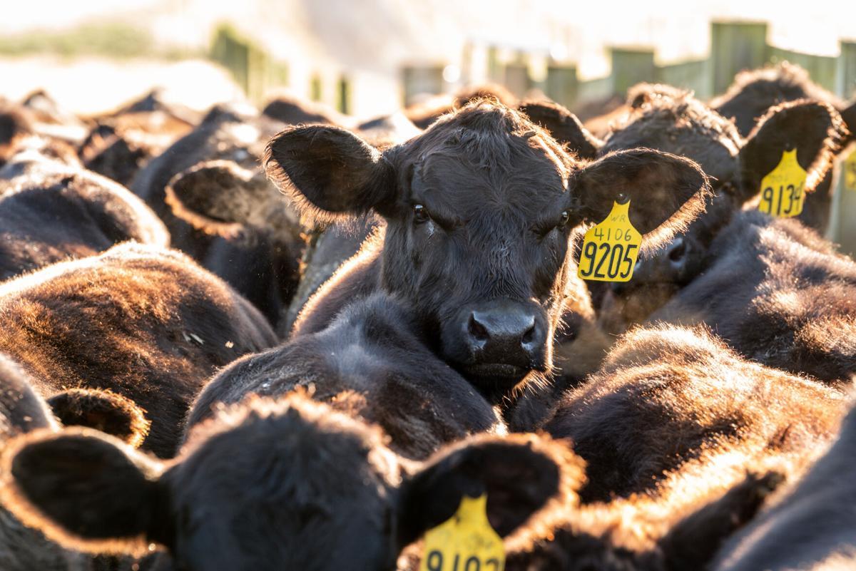 Agnus cattle