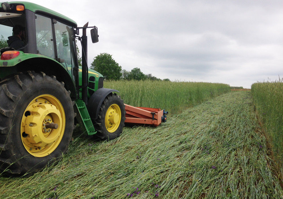 Cereal rye terminated with roller-crimper in organic no-till soybeans