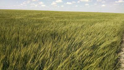 Wheat webinar