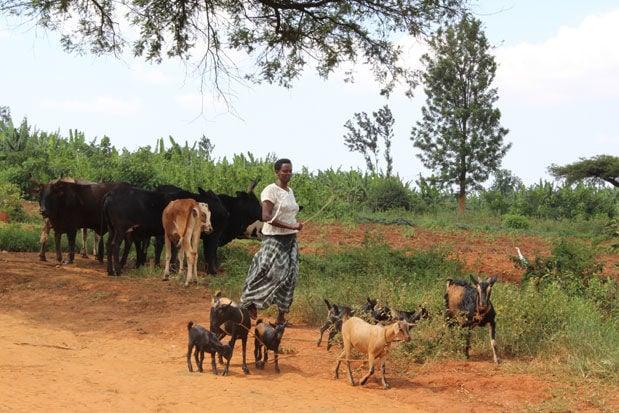 Rwanda goats