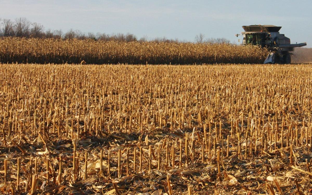 Combine harvest corn in field