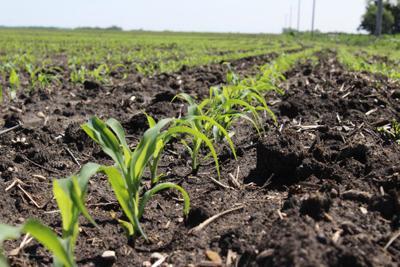 Early season corn