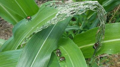 Corn injury from Japanese beetle