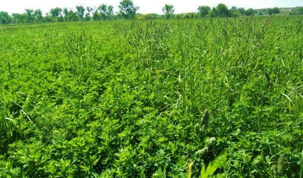 Grass mixed with alfalfa