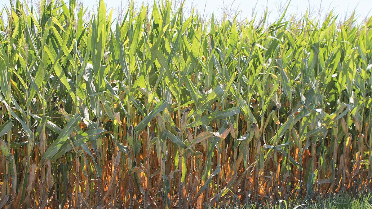 Corn grows in the Missouri River bottom August 2021
