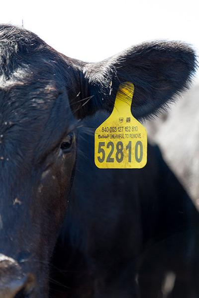 cattle tag trace