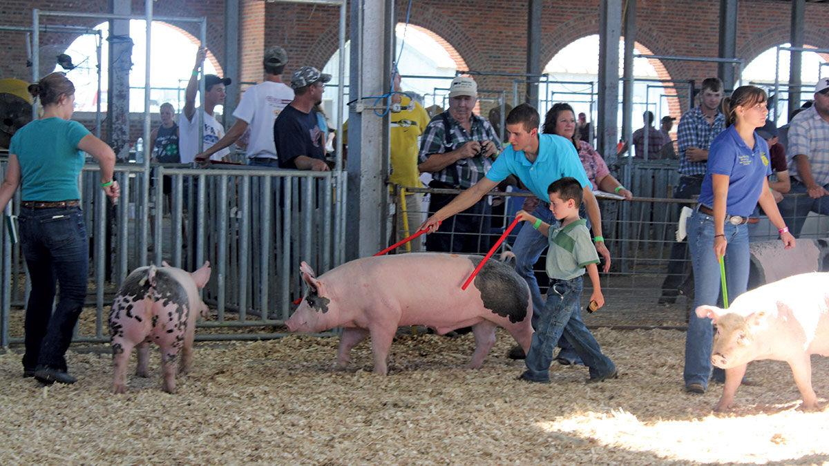 Exhibitors show their livestock at the Missouri State Fair