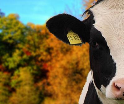 Livestock calendar photo fall