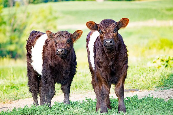 Belted Galloway calves