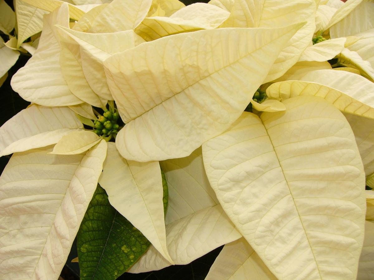 Poinsettias Hate Heat Cold Wet Feet State News Agupdate Com
