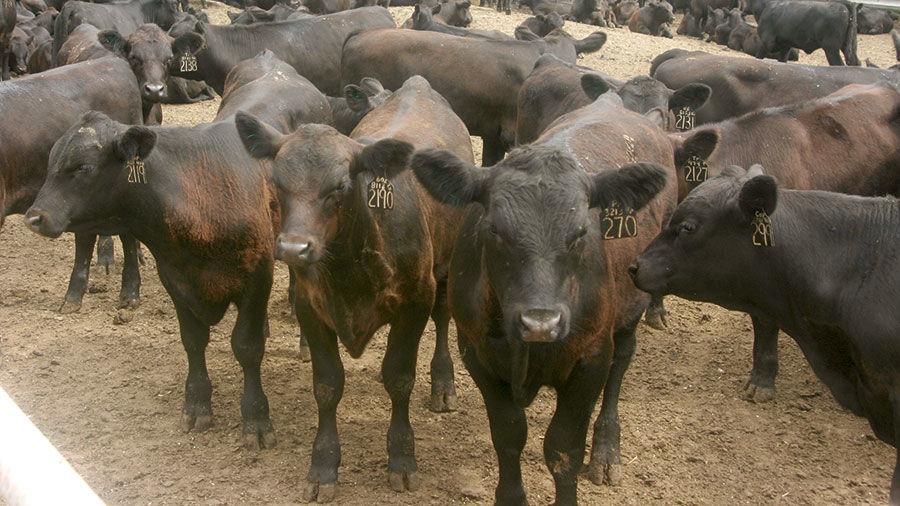 Cattle Black Angus