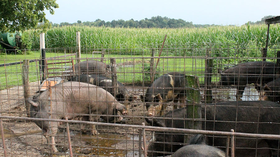 Pigs with cornfield