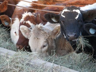 Weaned calves feed on hay