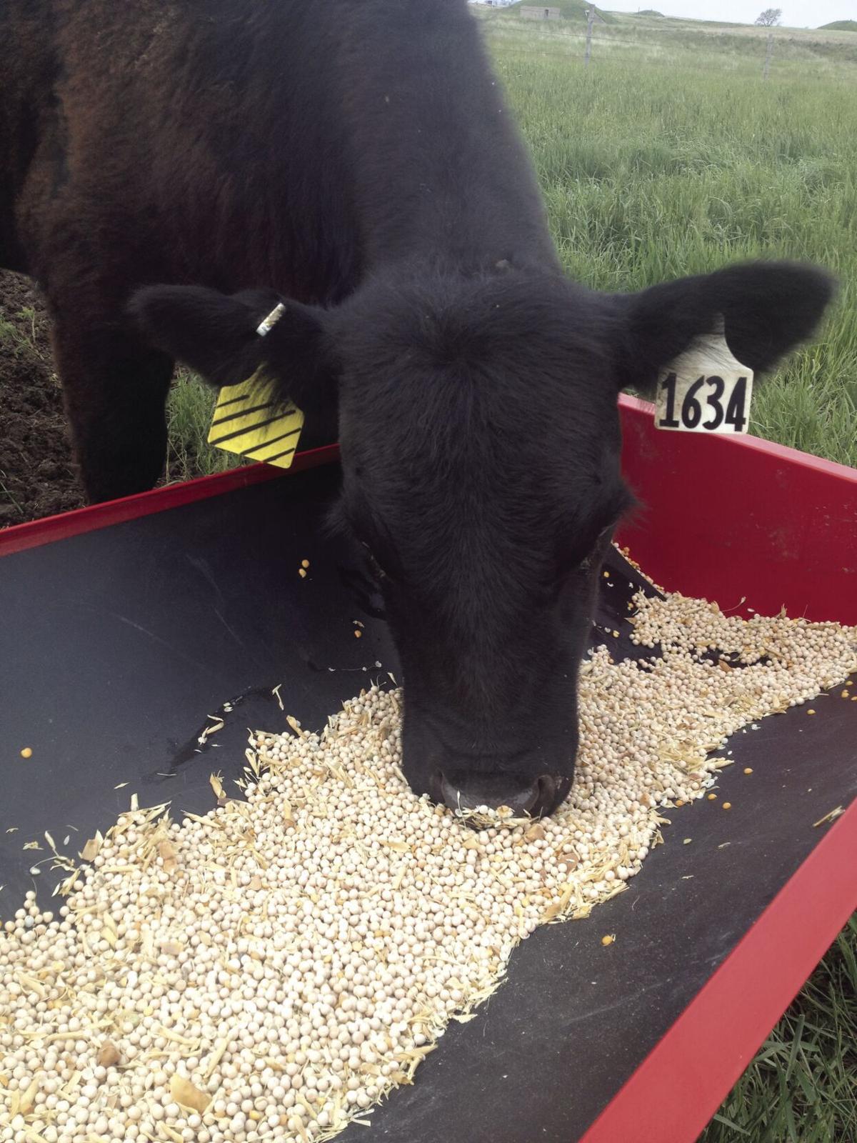 Peas for cattle 1.jpg