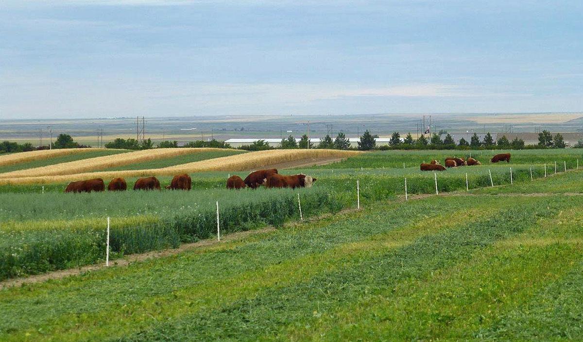 Cover crop grazing
