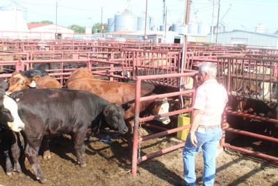Martey Stewart cattle sale