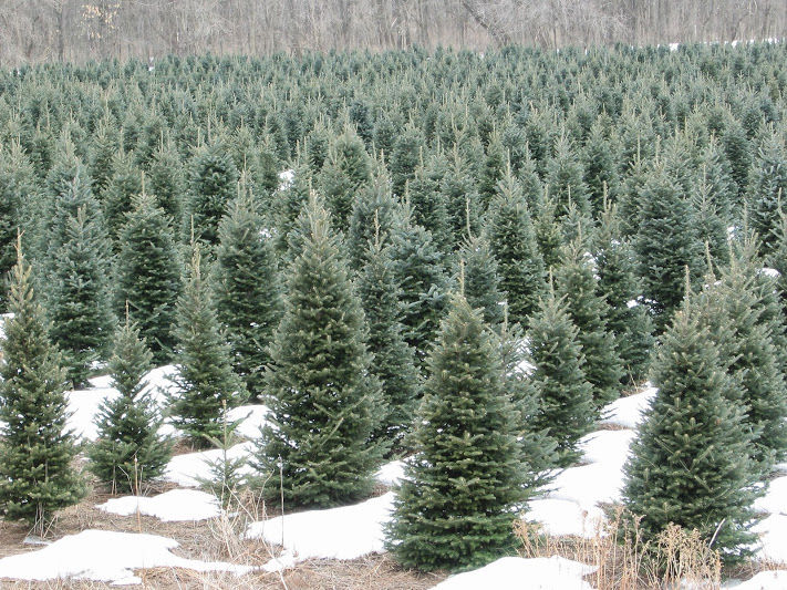 wisconsin grown christmas trees are in great shape in 2016 according to the wisconsin christmas tree producers association - Cheap Real Christmas Trees For Sale