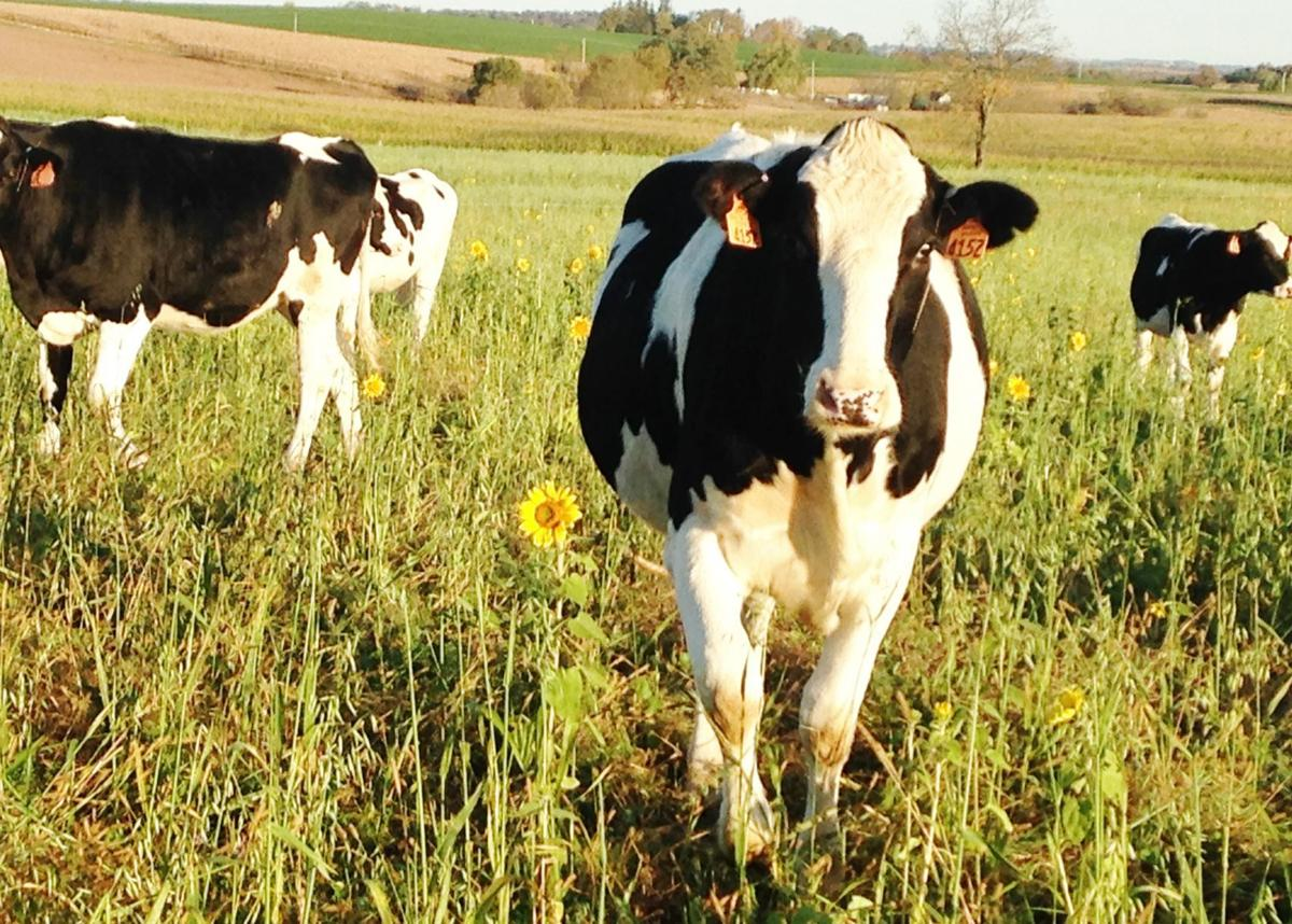 Holstein heifers grazing cover crops