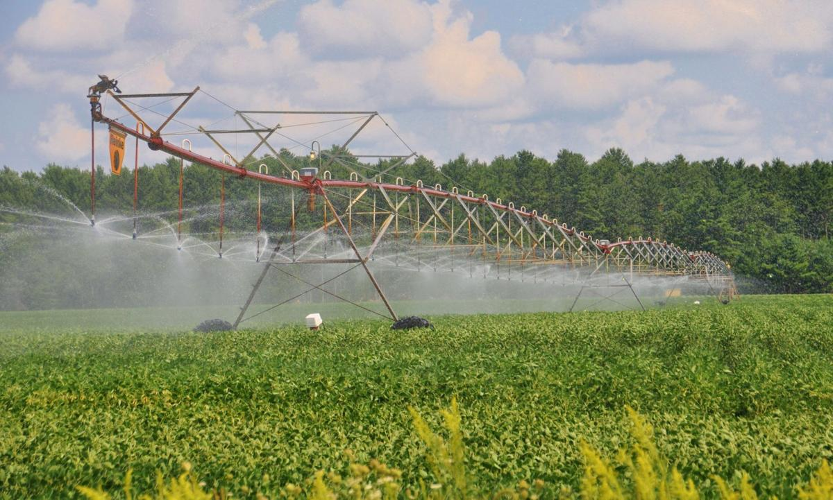 Irrigated beans