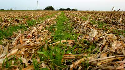 Cover crop corn residue