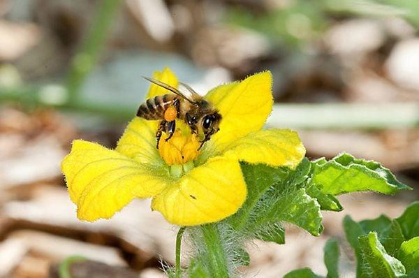 honeybee pollen watermelon
