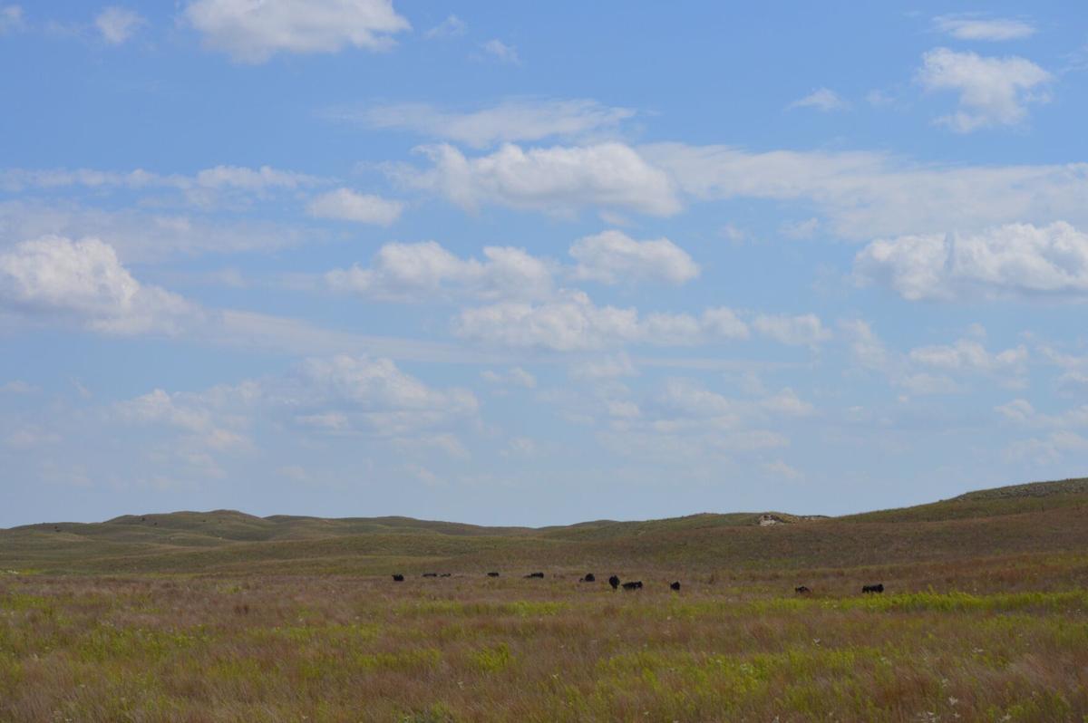 Cattle graze Nebraska