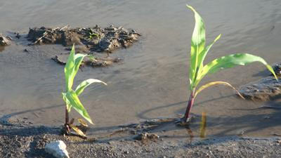 Flooded young corn