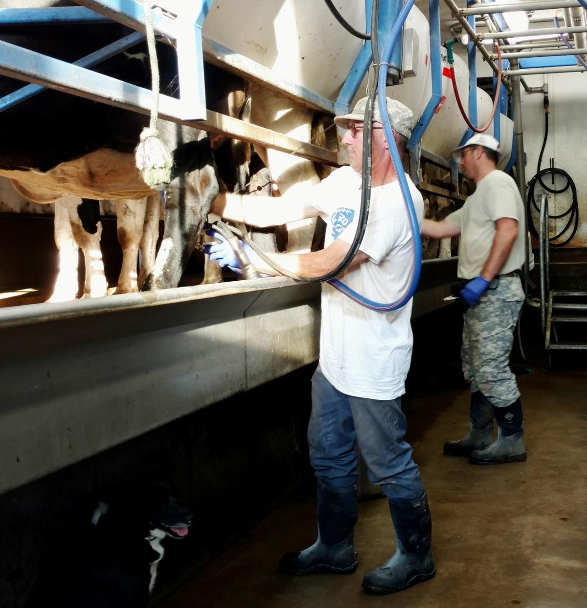 Andy Bures and Matt Keesling milking cows