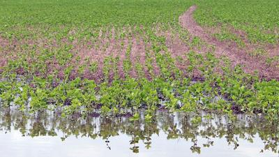 Soybeans in flood water