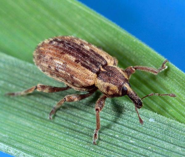 Alfalfa weevil adult