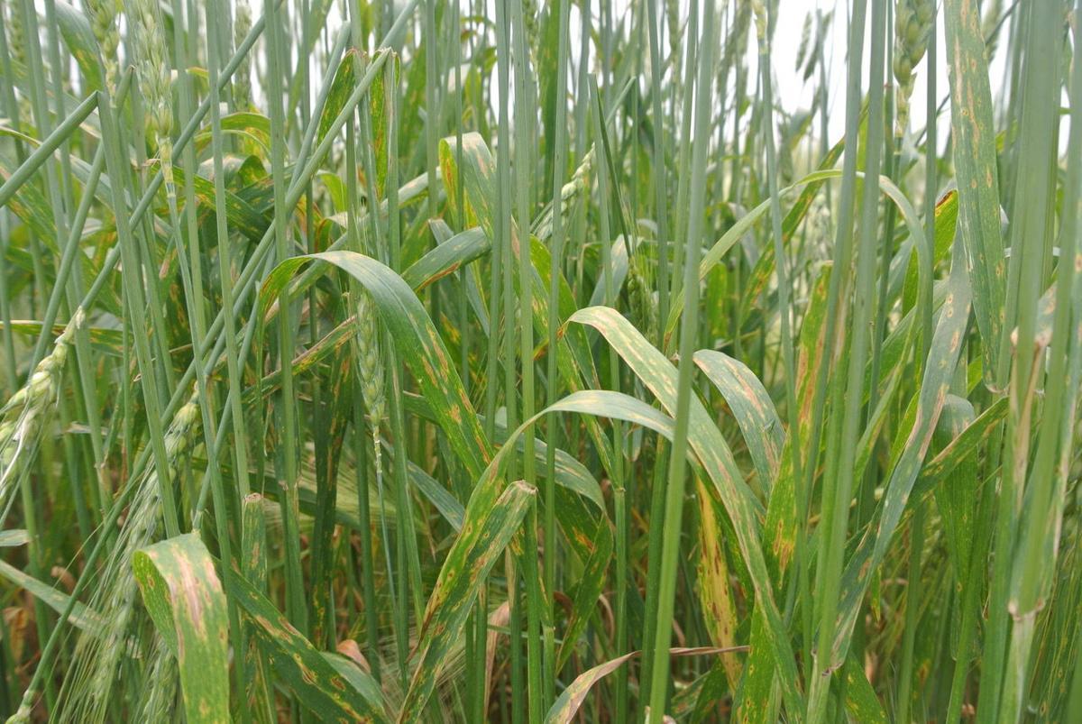 Foliar disease on winter wheat
