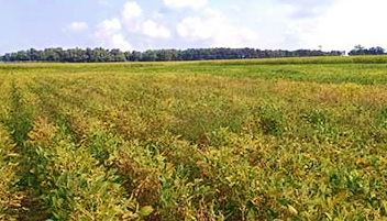 Soybeans affected by sudden death syndrome