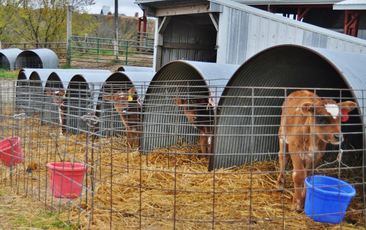 Calves look at camera