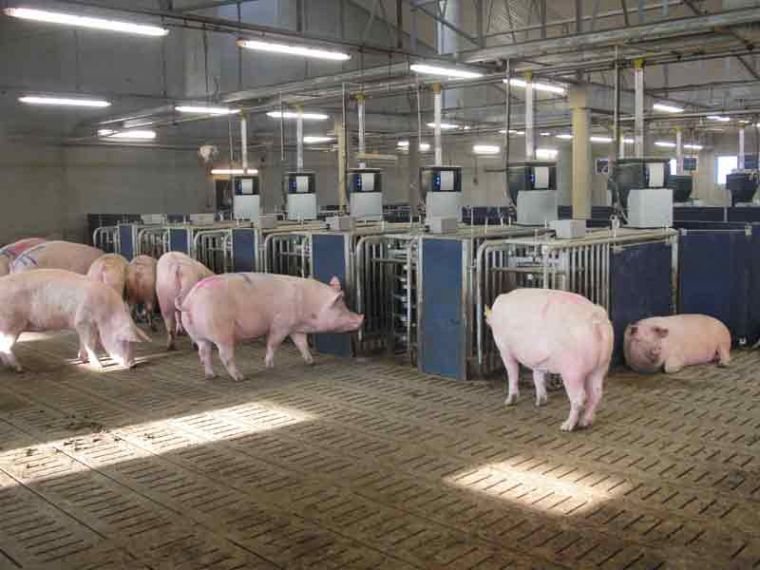 Nedap Electronic Sow Feeding System A Viable Production