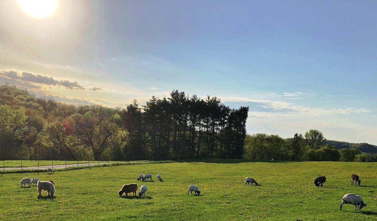 Sheep graze in field