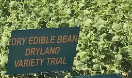 Dry bean variety trials
