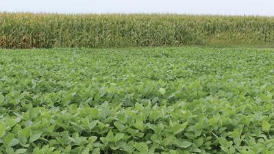 Corn soybean summer photo