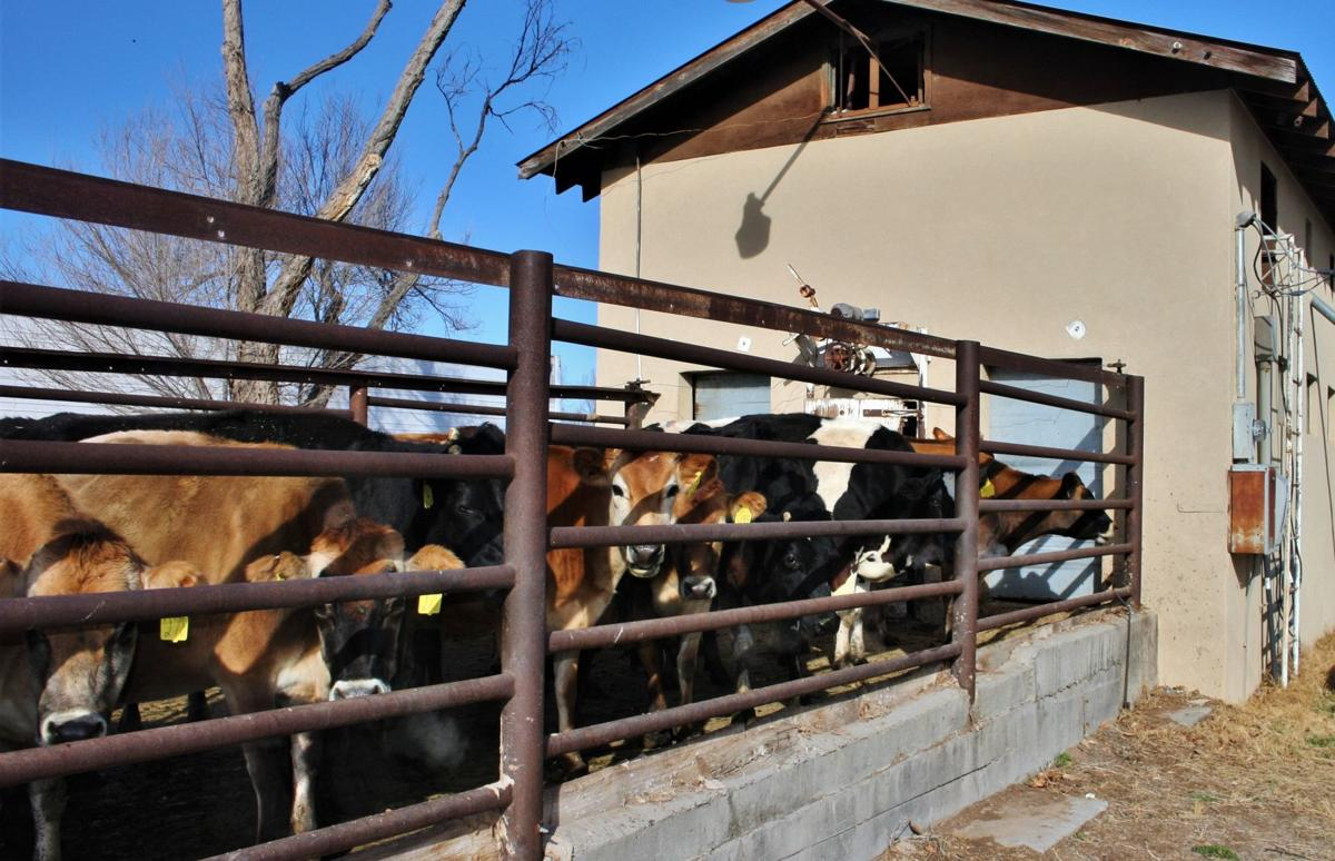 De Smet cows