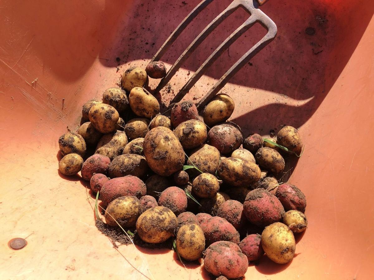 Potatoes put in wheelbarrow with fork