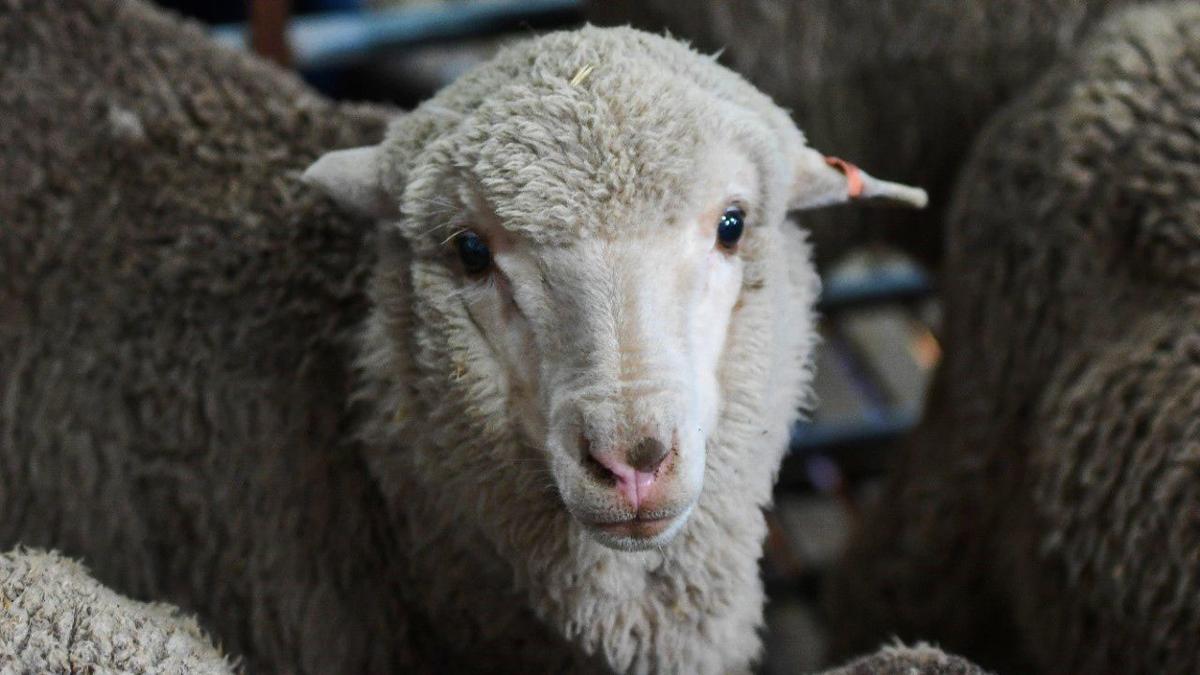 Merino lamb is born in 2018 from 50-year-old semen
