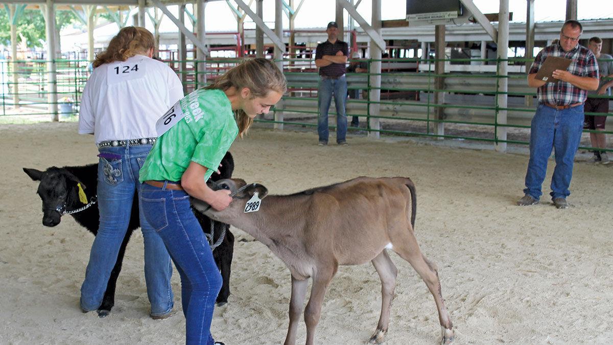 LC Fair calf show