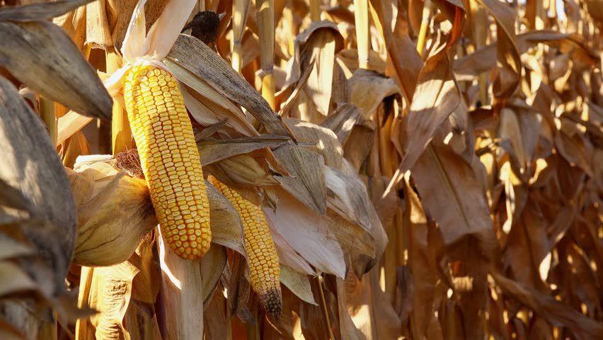 Ripe corn on stalks
