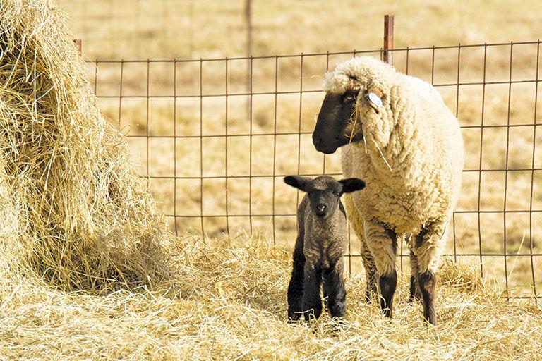 Hampshire ewes